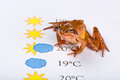 Frog as a weather prophet makes the weather forecast universal version temperature in celsius it s spring rana dalmatina Royalty Free Stock Images