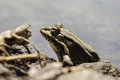 Frog with a bright color under the hot sun at a bog Stock Images