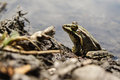 Frog with a bright color under the hot sun at a bog Royalty Free Stock Photos