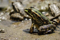 Frog with a bright color under the hot sun at a bog Royalty Free Stock Image