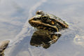 Frog with a bright color under the hot sun at a bog Stock Photos