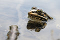 Frog with a bright color under the hot sun at a bog Royalty Free Stock Photo
