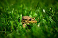 Frog brown toad on green grass close up in the sun Stock Photography