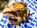 Frog caught in the hands of man Royalty Free Stock Photo