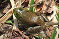 Frog close up view in grass Stock Photography