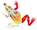 Frog entrails model. Royalty Free Stock Photo