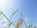 Frog eye view of grass and daisy under blue sky Royalty Free Stock Photo