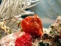Frog Fish or Angler Fish Royalty Free Stock Photo
