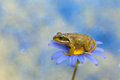 Frog On Flower In The Nature.