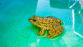 Frog frogs are a diverse and largely carnivorous group of short bodied tailless amphibians composing the order anura Royalty Free Stock Images
