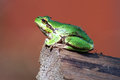Frog green amphibian tailless amphibians sitting on a log wildlife in nature watches Stock Photo