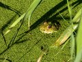 Frog in green duckweed Royalty Free Stock Photo