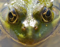 Frog green portrait closeup for background Royalty Free Stock Photo