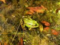 Frog green sitting on the wet grass and leaves Royalty Free Stock Image