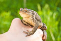 Frog on the hand on green background Royalty Free Stock Image