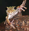 Frog with large eyes Royalty Free Stock Photo