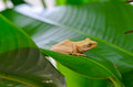 Frog on a large leaf Stock Photos