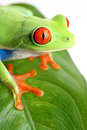 Frog on a leaf isolated Royalty Free Stock Images