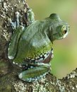 Frog Leptopelis vermiculatus Stock Photography