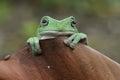Frog  Litoria caerulea Royalty Free Stock Photo