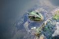Frog looking out of the water Royalty Free Stock Photo