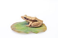 Frog on a lotus leaf under the white background Stock Image