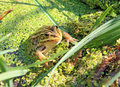 Frog in marsh Royalty Free Stock Photos