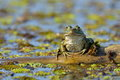 Frog in natural habitat Royalty Free Stock Photo