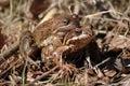 Frog pairing Stock Image