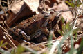 Frog pairing Stock Photos