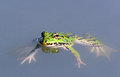 Frog pelophylax esculentus green floating Stock Photos