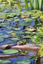Frog in the pond Royalty Free Stock Photo