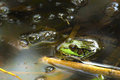 Frog in pond hiding a Stock Images