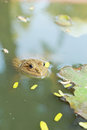Frog in a pond with nature Stock Photo