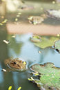 Frog in a pond with nature Royalty Free Stock Images