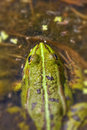 Frog pond pelophylax esculentus in the swamp macro shot Stock Image