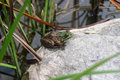 Frog by the pond a sitting on a rock a Royalty Free Stock Photo