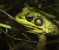 Frog rana clamitans closeup of face of male green in a pond Stock Image