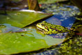 Frog rana esculenta sitting on a water lily leaf Royalty Free Stock Photo
