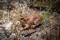 Frog - rana in Poloniny, Slovakia