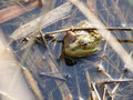 A frog is in reeds sits water with leaf on head Stock Image
