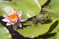 Frog resting on a lotus leaf at the pond Royalty Free Stock Photography
