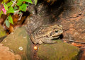 Frog on a rock farm rio grande do sul brazil large sitting in in Royalty Free Stock Photography