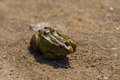 A frog on a send green road Royalty Free Stock Photo