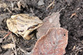 The frog sitting on the earth among dry leaves Royalty Free Stock Photo