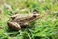 Frog sitting in the grass Royalty Free Stock Images
