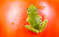 Frog sitting on top of tomato closeup photo green garden blurred out ripe surface background Royalty Free Stock Photography