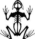 Frog skeleton 2 Royalty Free Stock Photo