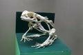 Frog skeleton Royalty Free Stock Photo