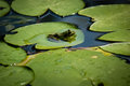 Frog small green on lilypad Royalty Free Stock Photography